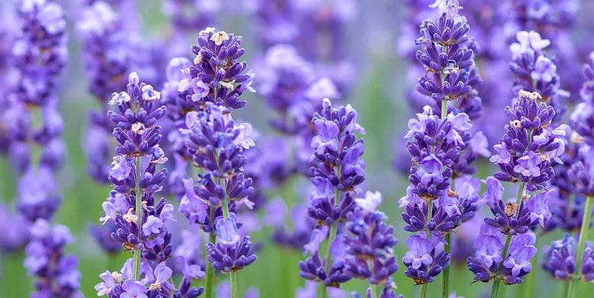 Image of beautiful lavender up close from the Happy Day Lavender Farm in NJ