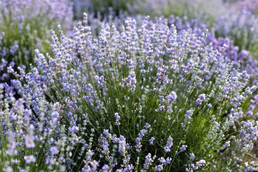 Image of a bunch of lavender in a field at the Hidden Spring Lavender Farm in Somerset County NJ