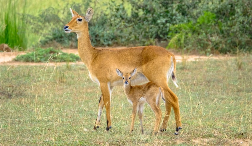 Image of a mother and a baby deer in the field being deterred from the farm by the use of lavender