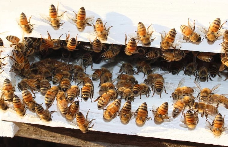 Image of a bunch of bees on the beehive at the Princeton Lavender Farm