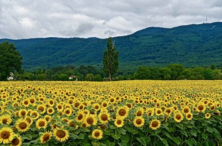 a view of sunflower field