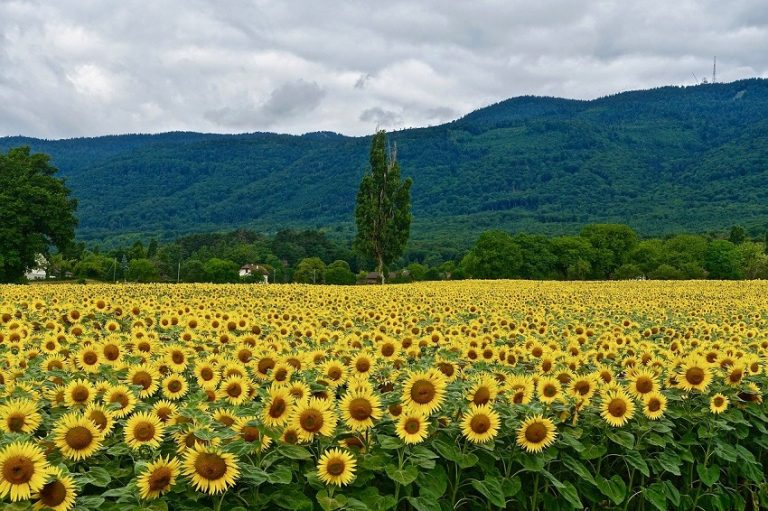 Beautiful Sunflower Farms, & Fields in NJ That You Must Visit