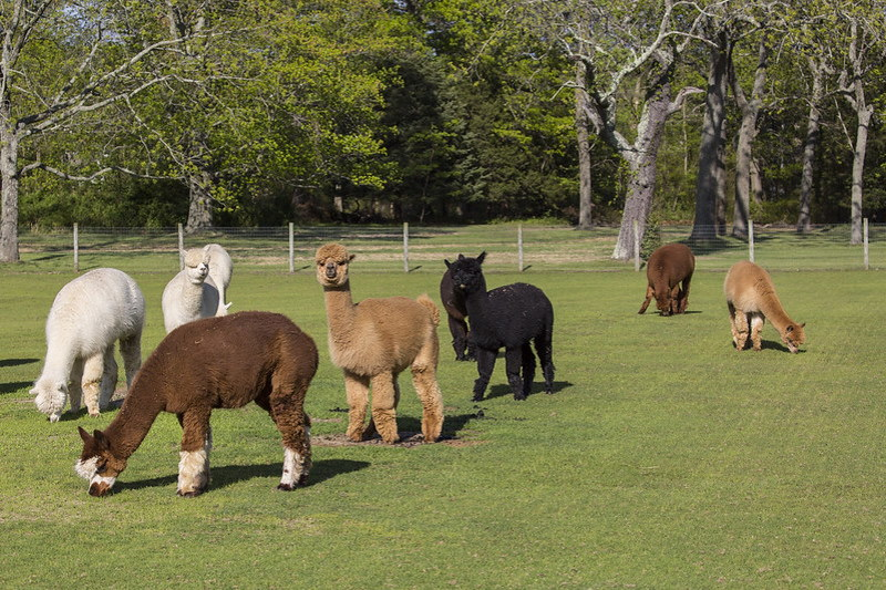 A beautiful view of alpacas in the nice sunny day in the Edel Haus Farm