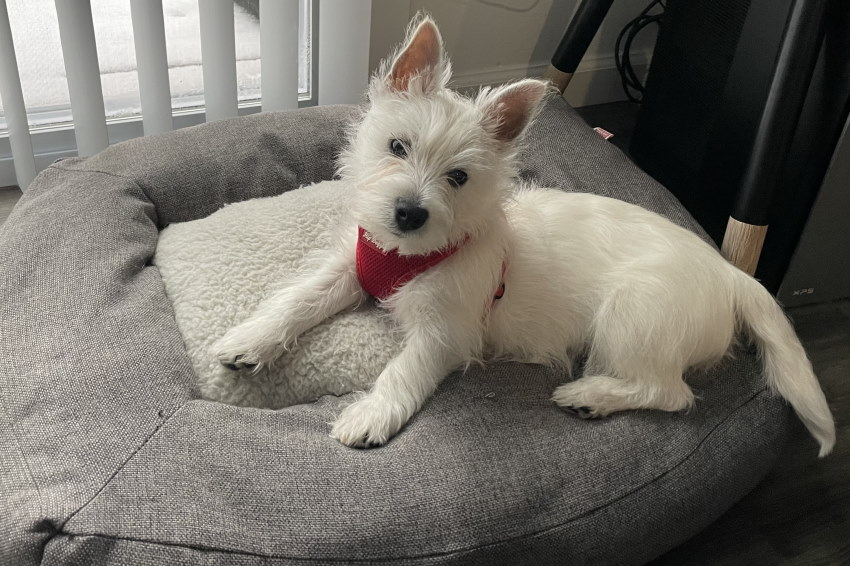Image of a westie puppy sitting on his dog bed in front of a window shoing snow outside