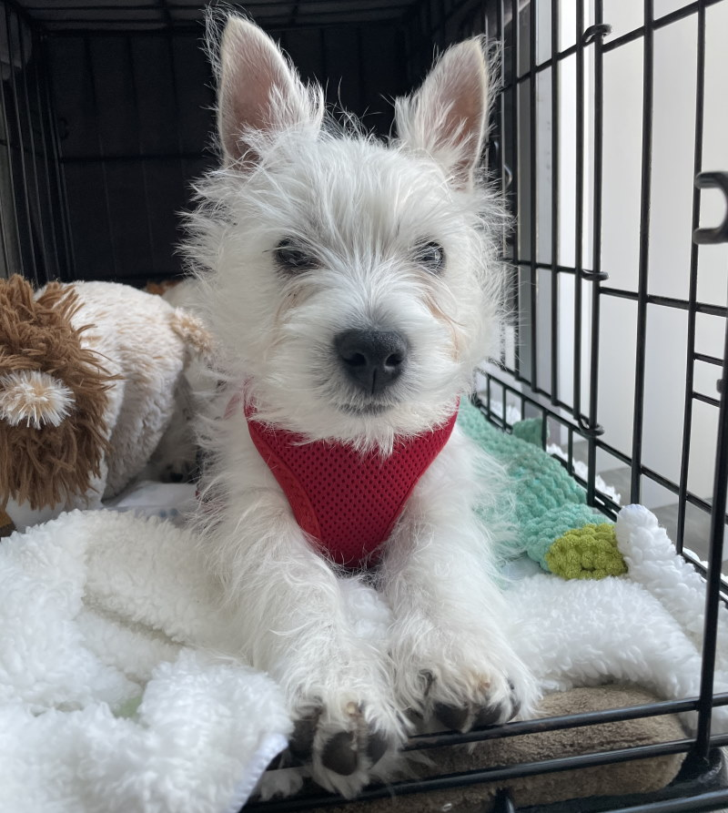 A Westie dog on a photo shoot in NJ