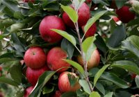 Longmeadow Farm Seasonal Appleb picking Top 50 Attractions for Kids in NJ