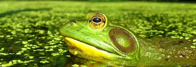 Photo of a green frog floating in a pond