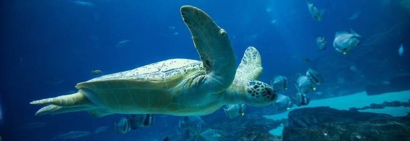 Image of a sea turtle swimming with tropical fish in a tank.
