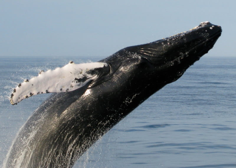 Image of a Humpback Whale jumping out of the Atlantic Ocean in south Jersey