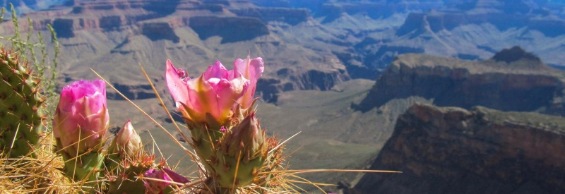 Image of cactus flowers overlooking the grand canyon.