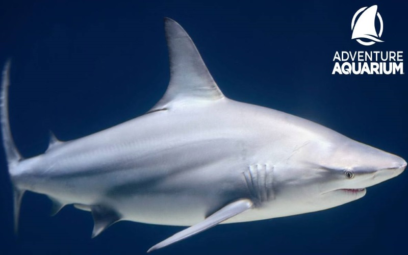 Adventure Aquarium offers many different species of sharks, fish, and reptiles in Southern NJ.