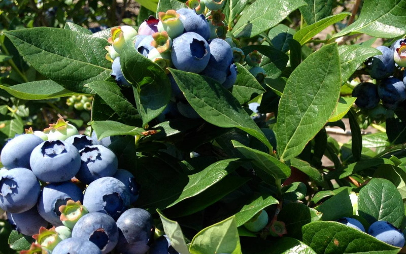 Image of blueberries at dimeo farms