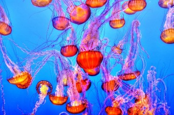 Image of a group of jellyfish swimming together at an aquarium as a fun thing to do with kids in NJ