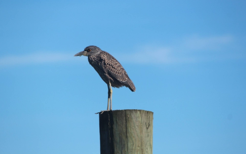 Birding by Boat Day Trip Cape May NJ