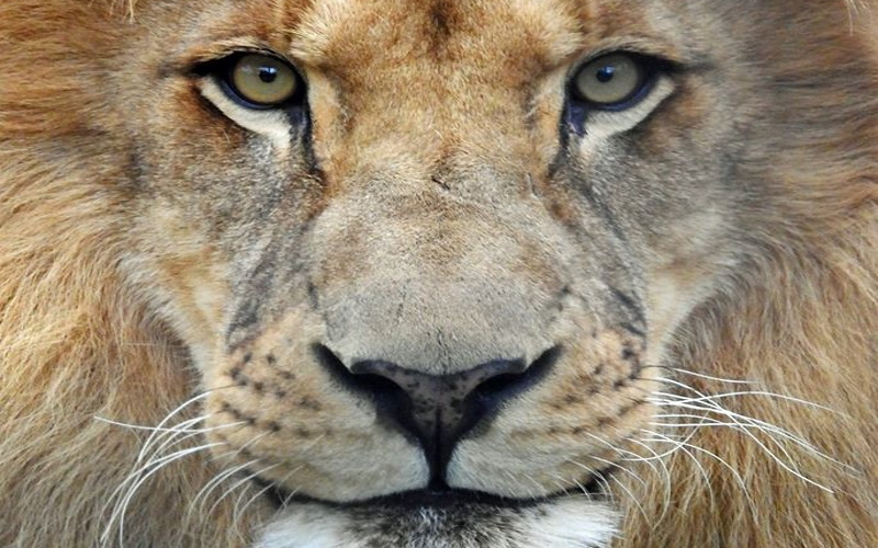 Image of a lions face