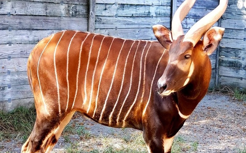 Image of a Eastern Mountain Bongo at the Cape May Zoo
