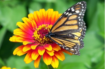 Image of a monarch butterfly on a yellow and red flower as an example of fun things to do with kids in NJ