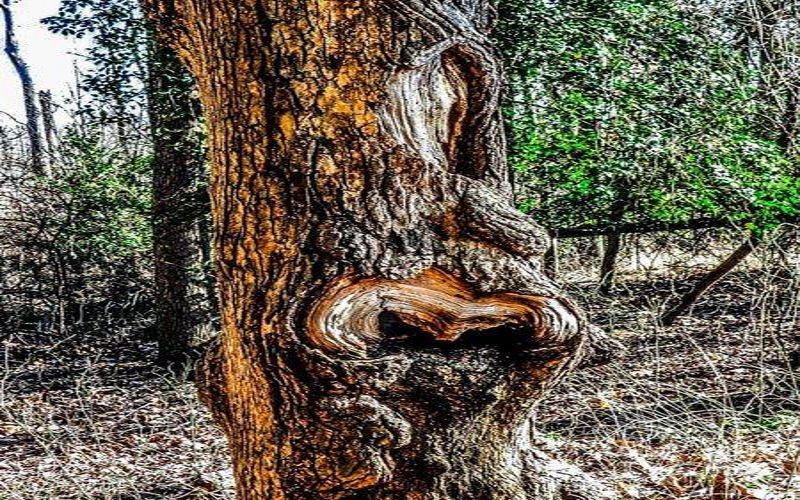 Image of a twisted tree trunk in a forest